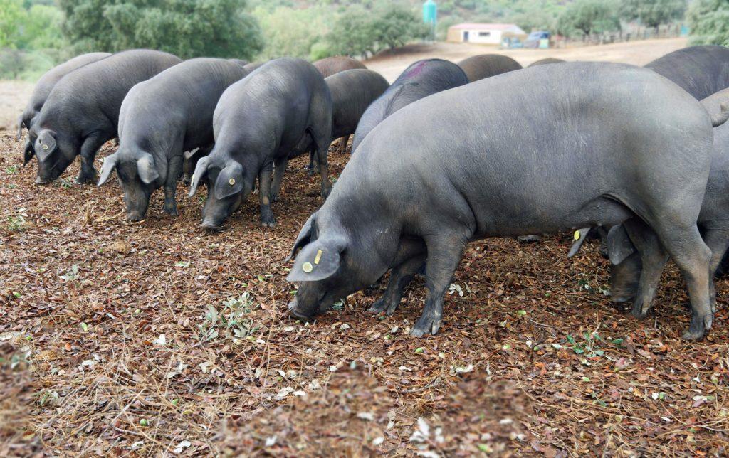 black pig dehesa